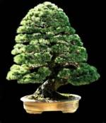 persiano_japanese_white_pine_150p.jpg