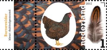 nederlandse-kippenrassen-barnevelder